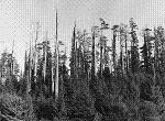The 1945 Trinidad fire was severe because it mostly burned through logging residue. Credit: Anonymous.