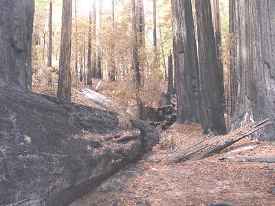Credit Steve Norman: An alluvial forest after the fire.