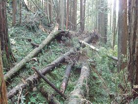 Blowdown, Arcata Community Forest.