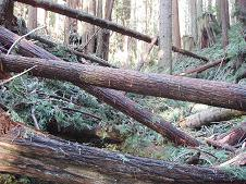 Blowdown, Arcata Community Forest