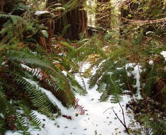 Credit Steve Norman; Snow covers the ground at Lady Bird Johnson Grove, Redwood National and State Parks