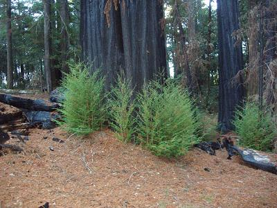 Coast Redwood sprouting a year after the 2003 Canoe Fire, Humboldt Redwoods State Park