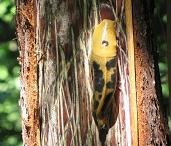 Banana slug on a bear clawed redwood.