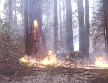A coast redwood fire