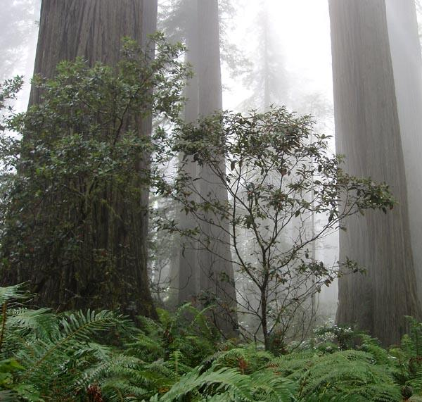 The coast redwood forest