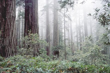 Coast redwood and fog have long been associated; but how tight is this linkage in space and time?