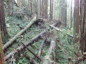 A fresh blowdown in century-old second growth in the Arcata Community Forest [Credit: Steve Norman, USFS]
